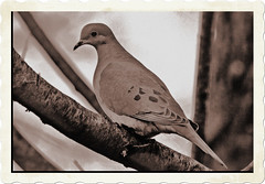 Peace of the heart and Soul within and with out... (texym11-in and out :)) Tags: autumn tree bird nature cherry evening backyard dove wildlife greysky ih smörgåsbord otw varigrated matizanimal