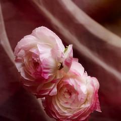 ranunculus (nene-aneON - OFF)) Tags: pink flower image blueribbonwinner mywinners s5pro