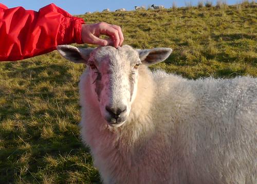 Tame sheep 10Dec08