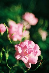 Winter Flower (NateVenture) Tags: plant flower film nikon bokeh f100  okinawa nikkor  boke 3514 35mmf14 fujifilmsuperiaxtra400 35mmf14ai