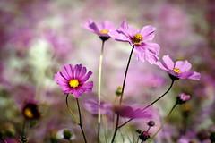 Cosmos bipinnatus (ddsnet) Tags: flower sony hsinchu taiwan   cosmos 900       sinpu cosmosbipinnatus hsinpu bipinnatus   900  cosmos bipinnatus
