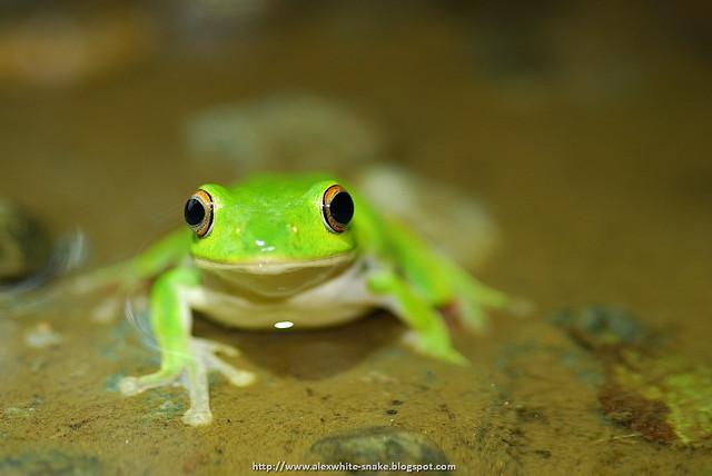 莫氏樹蛙 雄蛙 反光板