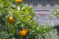 Jeju Citrus