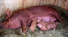 Six suckling piglets!