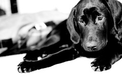 BRODY2 (denlinkbarmann) Tags: dog black puppy lab sad looking barmann denlin