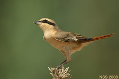 (N-S-S) Tags: bird birds nikon sigma kuwait nikkor  800mm     vwc        kvwc