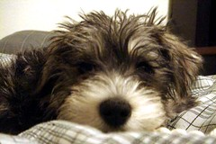 Balian (ccurtiz) Tags: dog puppy mix schnauzer maltese canonpowershotsd950is pomzer maltesemaniaccom