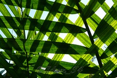 Green Weave (Adam_T4) Tags: light green nature leaves lines pattern shadows palm weave checks explore314 adamt4