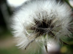 Nobody said it was easy (no ordinary love.) Tags: flowers flower nature canon bokeh dandelion s3 dandelions ene canonpowershot s3is canonpowershots3is canonpowershots3 enephotography dontspeakasloudasmyheart