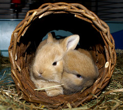 Precious couple (Sjaek) Tags: baby cute rabbit bunny bunnies babies nest sweet adorable fluffy pip rabbits flurry guus