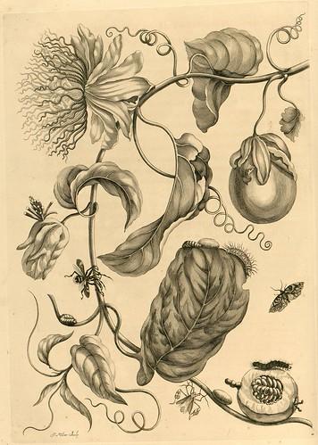 Metamorphosibus Insectorum Surinamensium (p51)