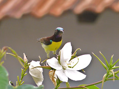 Purple-Rumped Sunbird - Male (SivamDesign) Tags: male bird fauna lumix panasonic sunbird purplerumpedsunbird nectariniazeylonica purplerumped fz8 dmcfz8