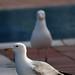 Seagull Mafia