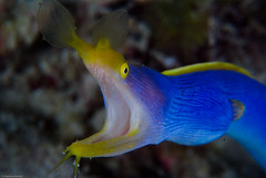 Blue Ribbon Eel (sbailliez) Tags: travel vacation macro nature underwater philippines diving ribboneel rhinomuraenaquaesita