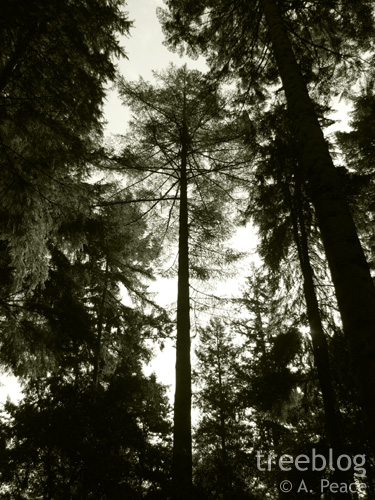 Britain's tallest Japanese larch