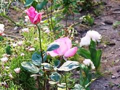 rose e tulipani x