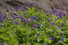 咲き乱れるチシマフウロ
