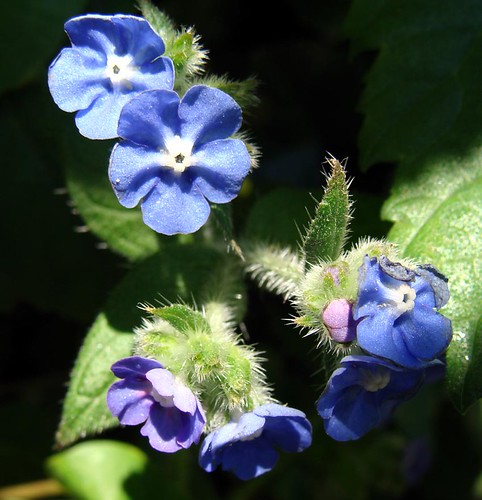 Photograph of blue Forget-me-nots by Kirsty Hall