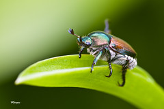 Scarab.jpg (HVargas) Tags: flowers green bug interesting beetle insects canoneos scarab photoshopelements canonlens canonef180mm ef180mm platinumphoto aplusphoto diamondclassphotographer flickrdiamond canoneos40d canon40d goldstaraward ef180mmf35lmacrousm natureselegantshots canonmacroef180mm