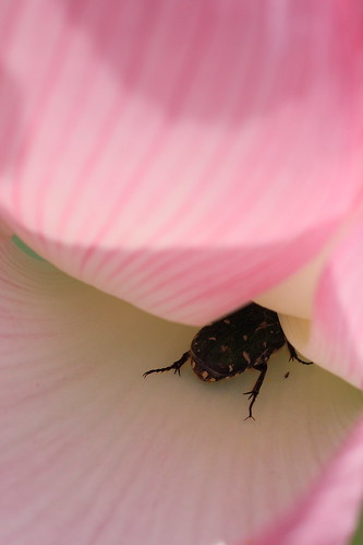 Lotus & a small beetle