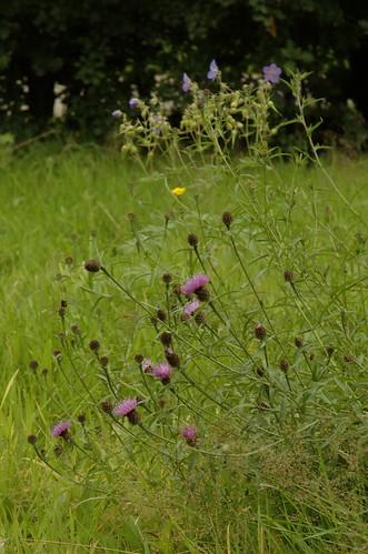 bloemenweide in de zomer - flowermeadow in summertime