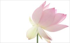 Lotus Flower / Lotus Macro - IMG_3379 -  , , ,  , Fleur de Lotus, Lotosblume, ,  (Bahman Farzad) Tags: inspiration flower macro yoga truth peace waterlily lotus relaxing calming peaceful loveit teacher meditation therapy elegant inspirational spiritual simple soulful heavenly tatto peacefulness devine  lotusflower therapist lotusflowers lotuspetal  colorphotoaward lotuspetals  lotosblume fleurdelotus  goldstaraward  loveitalwayscomment5 lotusmacro soulfulflower  lotusflowerpetals lotusflowerpetal