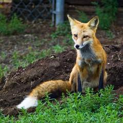 A Study in Fox -- 6 (zyrcster) Tags: home colorado wildlife neighborhood fox coloradosprings photofaceoffwinner pfogold wildcaninephotography