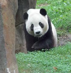 Panda Poetry in Motion -  017 (RoxandaBear) Tags: green window glass eyes september tai dcist nationalzoo 2008 pandas postings asiatrail