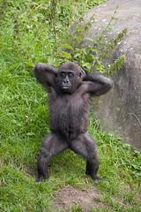 2008-09-11-11h21m47.IMG_6294l (A.J. Haverkamp) Tags: zoo rotterdam blijdorp gorilla dierentuin diergaardeblijdorp westelijkelaaglandgorilla canonef14xiiextender httpwwwdiergaardeblijdorpnl canonef300mmf4lisusmlens