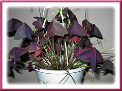 Just an image to illustrate how the leaves and flowers of Oxalis 'sleep' at night. :-D