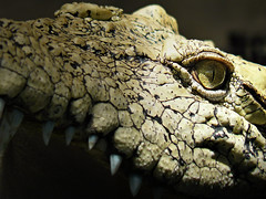 Crocodile's opportunity is waiting (Bn) Tags: topf25 scary topf50 reptile creepy crocodile topf100 krokodil yai amazingthailand siamesecrocodile supershot 100faves 50faves crocodylidae 35faves crocodilia anawesomeshot aplusphoto vosplusbellesphotos samutprakancrocodilefarm hybridcrocodile samutprakarncrocodilefarm thebiggestcrocodileintheworld