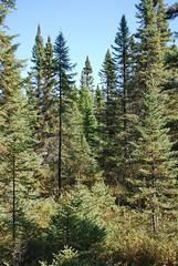 Black spruce and tamarack in Big Bog State Rec. Area (esagor) Tags: minnesota forest woodland boardwalk bog mn tamarack larixlaricina baudette blackspruce minnesotawoods piceamariana subboreal bigbogstatepark bigbogstaterecreationarea