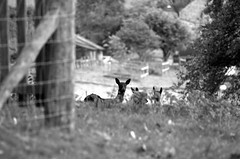 Deer at Levens (Sam Gibson) Tags: lake d50 river hall district deer levens