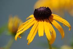 Black-eyed Susan 3 (StroudFoto) Tags: flowers blackeyedsusan yellowandblack daviecountync