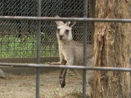 オオカンガルー@上野動物園