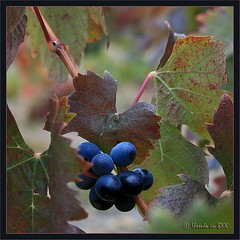 Autumn Grapes (Ursula in Aus (Away)) Tags: blue autumn france wine grapes languedoc pyrnesorientales pyrennees sentiercathare languedocroussilon padern cathartrail catharepath