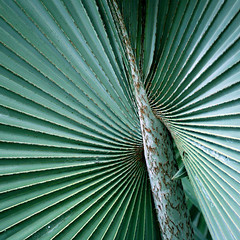 Natural Flapper (Katka S.) Tags: sea espaa detail tree green nature leaves islands leaf spain erasmus canarias palm atlantic gran canary 2008 islas canaria llp fotocompetition fotocompetitionbronze