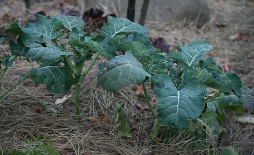 too late - fall brocolli plants