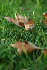 ad sonbahar olsun... (B@ni) Tags: autumn green fall grass canon 50mm leaf dof bokeh dry depthoffield hazan yeil kuru ef50mmf18 sonbahar yaprak imen gz fotorafkraathanesi alanderinlii fotografca
