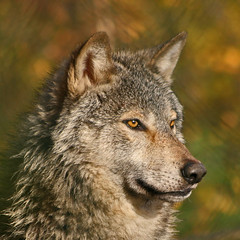 Grey Wolf (Gary's Photos!!) Tags: ireland dog eye dogs nature animal canon fur mammal nose photography eos grey photo big scary paw wolf foto fierce wildlife teeth gray bad conservation canine ear celtic endangered lupus graywolf wolves gentle howl carnivore protected 30d phoenixpark greywolf canis dublinzoo goldenglobe canislupus threatened chordata canidae digitalcameraclub specanimal garywilson naturesgallery abigfave baileathcliath aplusphoto diamondclassphotographer flickrdiamond naturewatcher platinumheartaward natureoutpost goldstaraward thebestofday gnneniyisi itsazoooutthere qualitypixels damniwishidtakenthat flickrlovers vosplusbellesphotos flickrsmasterpieces oneofmypics