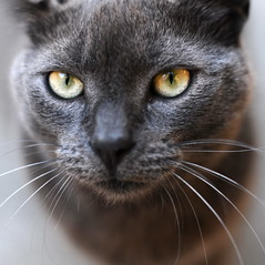 My russian blue (D3 Photography) Tags: portrait cat grey eyes nikon dof bokeh sigma whiskers f18 ambereyes 50mmf14 russianblue d300