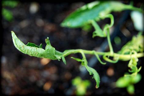 bad-tomato-plant