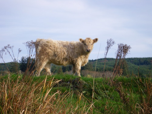 shaggy cow