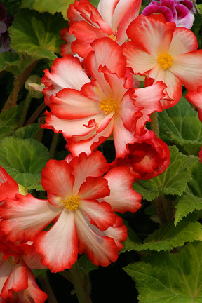 orange_begonia_4x6 by you.