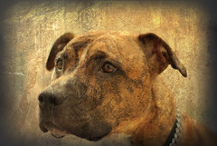 My Baby Girl (jami_lee) Tags: old dog baby brown cute pitbull doggy browneyes