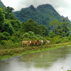 Improving living standards (Bn) Tags: plants tiere laos colori natures cowbell irrigationsystem irrigationcanal hmongvillage zebus domesticcattle oxfamaustralia cleanwatersystem humpedcattle indicuscattle cowsnearirrigationcanal southasiancattle commoncattleinasia improvingthequalityoflife