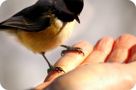 Chickadee feet