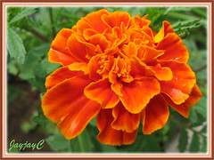 Tagetes patula 'Safari Tangerine' in our garden, February 2007