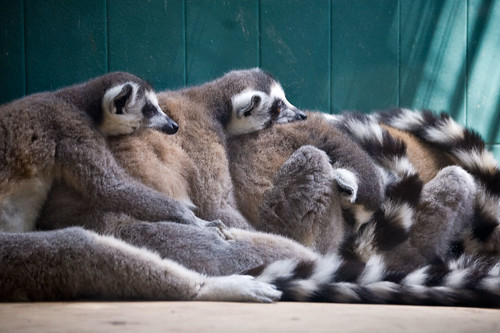 Parc Zoològic: Lemur Hugging Train