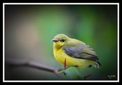 Olive-backed Sunbird (female) (leeshingyaw) Tags: bird nikon tamron 90mm sunbird d60 olivebackedsunbird cinnyrisjugularis yellowbelliedsunbird